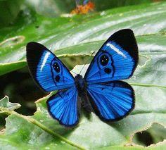 Butterfly Sky-blue Eyemark (Mesosemia loruhama)