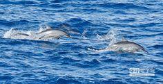↑海豚或跳或轉圈,猶如馬戲團表演。(陳志源攝)
