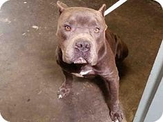 San Pedro, CA - Pit Bull Terrier. Meet VINCENT, a dog for adoption. http://www.adoptapet.com/pet/13128032-san-pedro-california-pit-bull-terrier