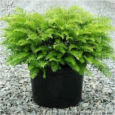 Add structure and permanence with shrubs in container gardens. Planting and maintenance guidelines. Big Plants, Tall Plants, Shade Plants, Types Of Plants, Outdoor Plants, Outdoor Gardens, Planting Shrubs, Planting Flowers, Container Plants