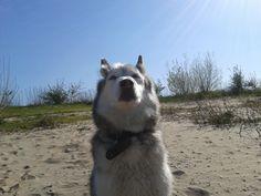 Husky Smokey april 2015 #arrogant #dog
