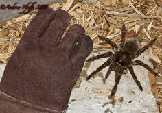 Goliath Bird Eating Spider is the largest spider in the world