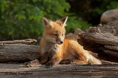 Red Fox Kit by Steve Dunsford on 500px