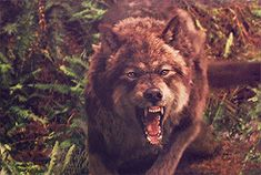 ≈ Pareja principal: Δ SuLay Δ ≈ Parejas Secundarias: β HunHan β … # Fanfic # amreading # books # wattpad Twilight Wolf Pack, Jacob Black Twilight, Twilight Saga Series, Twilight Movie, Werewolf Hunter, Wolf Hybrid, Angry Wolf, Fantasy Wolf, Wolf Stuff
