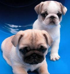 Cute Tri-Color Pug Puppies