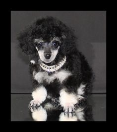 Poodle Dogs Phantom poodle - his little face looks like my Bailey. Dogs 101, Dogs And Puppies, I Love Dogs, Cute Dogs, Adorable Puppies, Beagle, Phantom Poodle, Poodle Haircut Styles, Cutest Puppy Ever