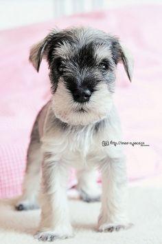 Miniature Schnauzer by Moo Miniature / Standard / Giant #Schnauzer #Puppy #Dogs