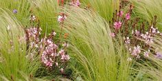 Image result for gaura grasses combination