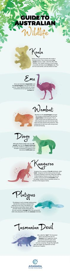 Travel and Trip infographic Infographic: Australian Wildlife Infographic Description Koalas, kangaroos, and wombats – oh my! Learn all about the wildlife and animals of Australia with this fun infographic. Australia Travel Guide, Australia Day, Visit Australia, Wombat, Australian Wildlife, Australian Memes, Wild Life, Brisbane, Melbourne