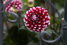 Hello, dahlia! S.F.'s official flower in bloom