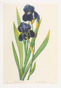 Iris germanisa - Pierre-Joseph Redouté  #ciretrudon #art #illustration #scent #flower #iris #green #purple