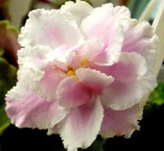 African Violet PLANT Berries n' Snow Old Champion beauty