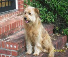 Buddy is an adoptable Wheaten Terrier Dog in NY, NY. Buddy was an owner surrender whose owner was put into hospice. He is a sweet, quiet dog that would love a forever home. He is good with children an...
