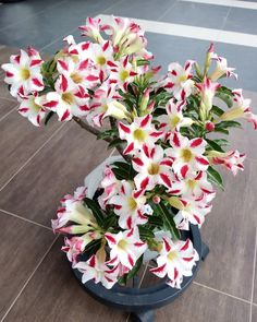 Exotic Flowers, Amazing Flowers, Beautiful Flowers, Cacti And Succulents, Planting Succulents, Planting Flowers, Desert Rose Plant, Desert Plants, Flowering Bonsai Tree