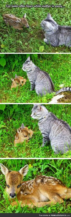 Cat takes care of fawn - FunSubstance.com