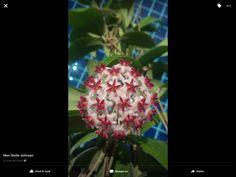 Hoya Erythrostemma new