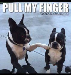 Pull My Finger... ❤❤❤ from: http://bostonterrierworld.com/pull-my-finger/