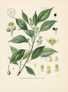 Camphor Tree, Cinnamomum camphora from Antique Herbal Prints of Nutmeg, Sassafras, Pepper, Cinnamon, Mint, Thyme by Kohler 1898