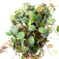 Peperomia Pepperspot 1
