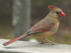 General Information about the Northern Cardinal- Cardinalis ...