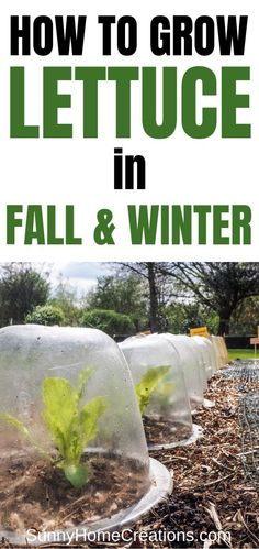 Awesome tips and ideas on how to grow lettuce in the fall and winter. Growing lettuce in your fall and winter vegetable garden is simple easy. Lettuce Seeds, Growing Lettuce, How To Plant Lettuce, Fall Vegetables, Organic Vegetables, Growing Vegetables, Gardening Vegetables