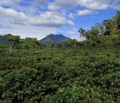 Der ⑧ größte Kaffeeproduzent Guatemala im Fokus http://bunaa.de/guatemala/