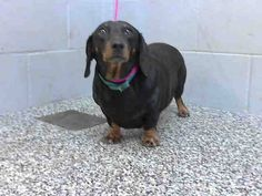 SAFE --- #A475779 Release date 11/21 I am a female, black and tan Dachshund min. Shelter staff think I am about 3 years old. I have been at the shelter since Nov 14, 2014.  : City of San Bernardino Animal Control-Shelter. https://www.facebook.com/photo.php?fbid=10203945334691306&set=a.10203202186593068&type=3&theater