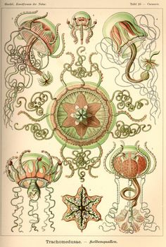 Trachymedusaeare anorderin thecnidarianclassHydrozoa. Illustration by Ernst Haeckel. (via Kunstformen der Natur (1900))