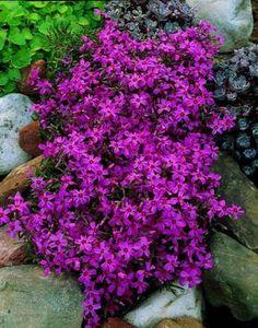 plantes couvre sol: phlox subulata violet dans le jardin de rocaille - croissance rapide
