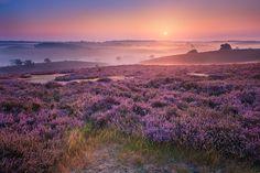 Ieder jaar aan het einde van de zomer kleuren de heidelandschappen rondom Hilversum paars. Natuurfotograaf Albert Dros maakte er een betoverende fotoserie van.