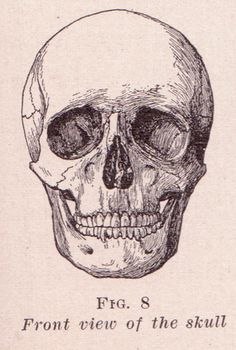 Front View of Skull, via Flickr.