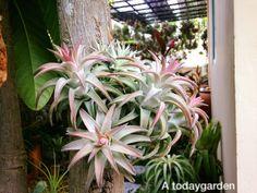 Tillandsia ionantha var. van-hyingii by A todaygarden