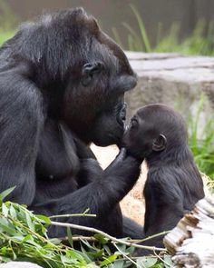 Gorilla mom kissing baby And the heart ❤️ shape under their chins Primates, Nature Animals, Animals And Pets, Strange Animals, Wild Animals, Beautiful Creatures, Animals Beautiful, Cute Baby Animals, Funny Animals