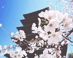 sakura, and flowers