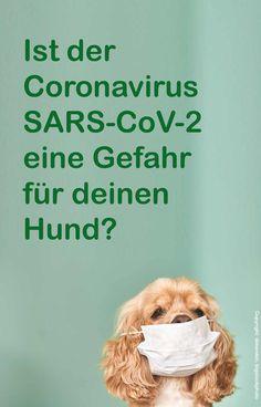 Tierhalter fragen sich, ob angesichts des Coronavirus auch eine Gefahr für ihre Hunde besteht. Wir gehen dieser Frage in dem folgenden Beitrag nach. Corona, Cats, Pet Dogs, Hang In There, Animales