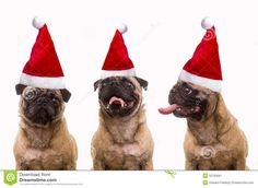 A trio of three cute pug dogs wearing Santa hats for Christmas over white background.