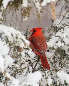 Image result for cardinals in winter