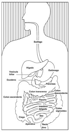 Drawing of the digestive system illustrating the esophagus stomach duodenum pancreas jejunum small intestine ileum appendix cecum ascending colon transverse colon descending colon sigmoid colon rectum and anus. Human Body Unit, Human Body Systems, Science Education, Life Science, Science Biology, Physical Education, Human Digestive System, Human Body Activities, Medical Anatomy