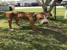 American Bulldog dog for Adoption in Rosenberg, TX. ADN-502144 on PuppyFinder.com Gender: Male. Age: Adult