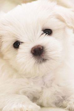 Cute maltese puppy image via WallpapersHD
