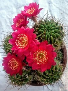 Pin by Diane thomas on Moonlight Beautiful Flowers, Planting Succulents, Flowers, Flowering Succulents, Unusual Flowers, Cactus House Plants, Plants, Blooming Succulents, Cactus Flower