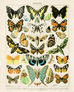 Vintage French Butterlfy Diagram Reproduction. Variety of Butterflies and Moths by MillotEducational Chart Diagram Poster Papillions. CP261