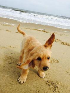 23 Times Golden Retriever Puppies Were Huge Dweebs