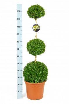 Buchsbaum - Buxus sempervirens, Trio  Ball