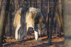 Michael Rickard posted a photo:  Timber Wolf  Lakota Wolf Preserve  New Jersey  Hit L on your keyboard for the best clarity.  *************************  Visti my website  Follow me on Facebook  Find me on Instagram under megapixelmike  Find me on Twitter @srvivorman