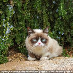 Grumpy Cat® - The world's grumpiest cat!