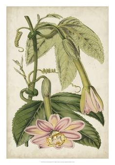 Giclee Print: Passion Flower Botanical by Stroobant : 26x18in