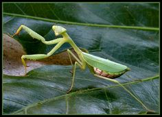 Praying Mantis, they are so good to eat up the bad bugs and if there is a stray one during a cold spell like to bring it in and put it on my houseplant until morning time
