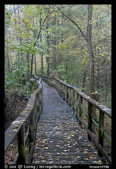 High boardwalk with fallen leaves. Congaree National Park, South Carolina, USA.