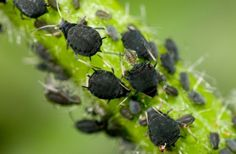 Aphids are some of the most destructive garden pests in the world. Here are 12 natural and organic ways to get rid of them to enable your garden to flourish.